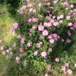 Fairy Rose/ ロサ・キネンシス・ミニマ 花の咲いている様子