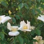 Rosa gigantea/ ロサ・ギガンティア 花の様子