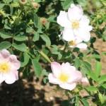 Dog rose/ イヌバラ ロサ・カニーナ 花の様子
