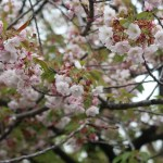 Cherry var. Yae Beniooshima/ ヤエベニオオシマ 花の咲いている様子