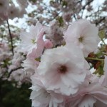 Cherry var. Ichiyou/ イチヨウ 花の様子
