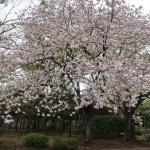Cherry var. Ichiyou/ イチヨウ 花の咲いている木の様子(全景)