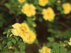 Manchu rose/ キバナハマナス 花の様子 横顔