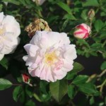 Rosa Chinensis alba/ ロサ・キネンシス・アルバ