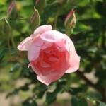 Old garden rose/ Duchesse de Brabant デュシェス・ド・ブラバン 花の様子
