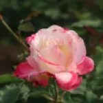 Modern garden rose/ Sanka 賛歌