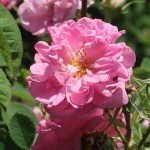 Old garden rose/ York and Lancaster ヨーク・アンド・ランカスター 花の姿