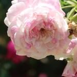 Old rose/ Rosa centifolia varegata ロサ・ケンティフォリア・ワリエガータ