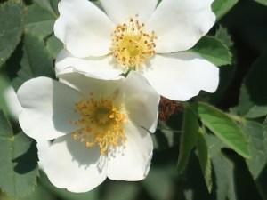 Wild rose/ Rugosa rose ハマナス 花の姿 白花