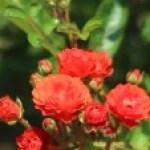 Modern garden rose/Golden Salmon Superieur ゴールデン・サーモン・スペリエール 花の様子