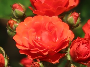 Modern garden rose/Golden Salmon Superieur ゴールデン・サーモン・スペリエール 花の姿