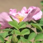 Old garden rose/ Pink Nevada ピンクネヴァダ 花の姿