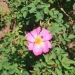 Old garden rose/ Pink Nevada ピンクネヴァダ 花の様子