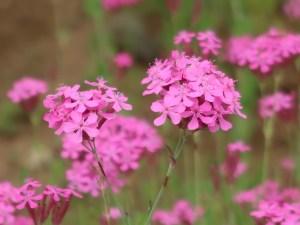 Sweet William catchfly/ ムシトリナデシコ コマチソウ 花の姿