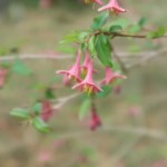 Lonicera gracilipes/ ウグイスカグラ 花の様子