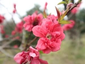 Peach/ モモ 花桃 花の姿
