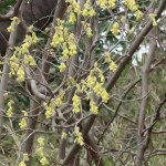 Spike witch-hazel/ トサミズキ 花の咲いている様子