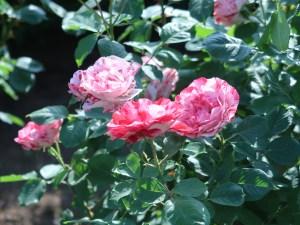 Modern garden rose/ Arabesque アラベスク 花の咲いている様子