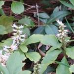 Japanese spurge/ フッキソウ 花の咲いている様子