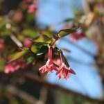Lonicera gracilipes/ ウグイスカグラ
