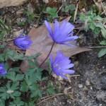 Balkan anemone/ アネモネ・ブランダ 花の様子