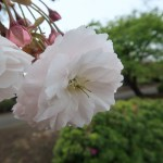Cherry var. Fugenzou/ フゲンゾウ 花の姿