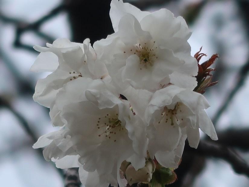Cherry var. Shizuka シズカ