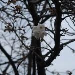 Cherry var. Shizuka シズカ 花の咲いている様子