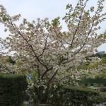 Cherry var. Shirotae シロタエ 花の咲いている木の様子