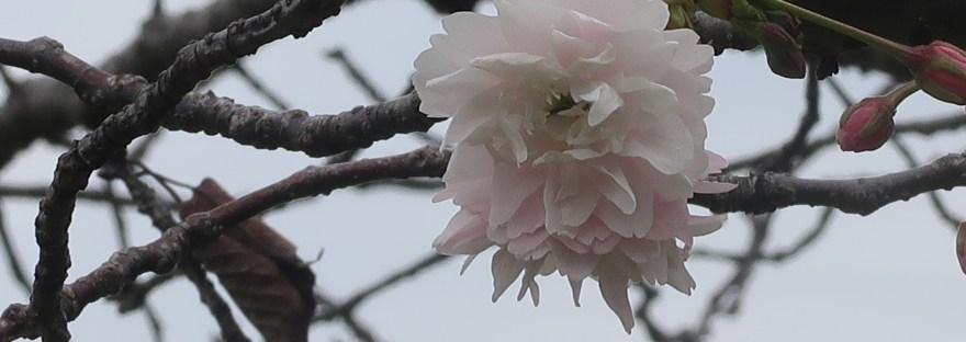 Cherry var. Kamatari zakura/ 鎌足桜