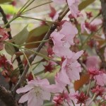 Cherry var. Kenrokuen kumagai/ ケンロクエンクマガイ 花の姿