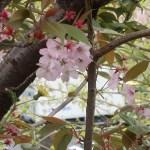 Cherry var. Kenrokuen kumagai/ ケンロクエンクマガイ 花の咲いている様子