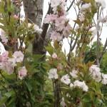 Cherry var. Amanogawa/ アマノガワ 花の咲いている様子