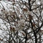 Cherry var. Surugadai nioi スルガダイニオイ 花の咲いている様子