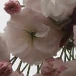 Cherry var. Fugenzou/ フゲンゾウ