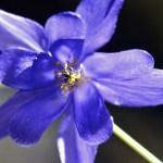 Aquilegia vulgaris/ Common columbine/ Aquilegia flore coeruleo