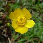 Meadow buttercup/ Ranuncolo