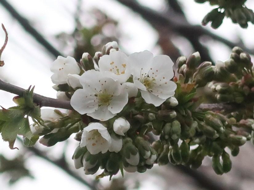 Sweet cherry セイヨウミザクラ