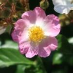 Wild rose Tsukushi ibara/ ツクシイバラ
