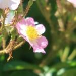 Wild rose Tsukushi ibara/ ツクシイバラ 花の様子