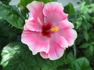 Chinese hibiscus/ ハイビスカス ブッソウゲ ピンク花の姿