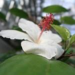 Chinese hibiscus/ ハイビスカス ブッソウゲ 白い花の姿