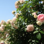 Pierre de Ronsard ピエール・ドゥ・ロンサール 花の咲いている様子