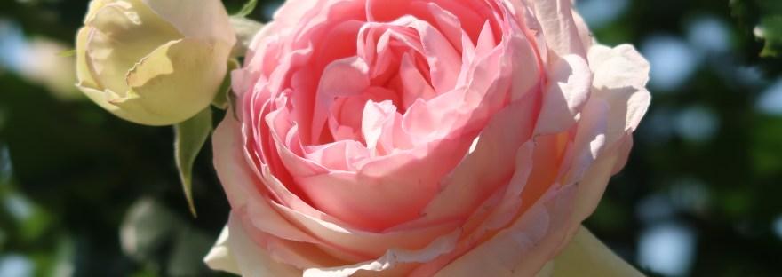Modern garden rose/ Climbing/ Pierre de Ronsard ピエール・ドゥ・ロンサール
