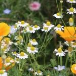 California poppy/ ハナビシソウ 花の様子 ジャーマンカモミールと