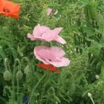 Common poppy/ ヒナゲシ 花の咲いている様子