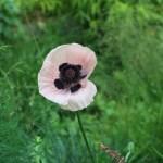 Oriental poppy/ オニゲシ 花の咲いてい様子