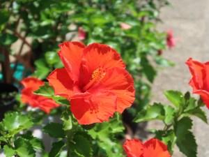 Chinese hibiscus/ ハイビスカス ブッソウゲ 赤い花の様子