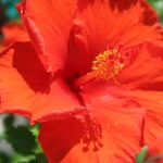 Chinese hibiscus/ ハイビスカス ブッソウゲ 赤い花の姿