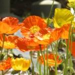 Iceland poppy/ アイスランドポピー 花の様子